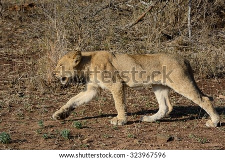 Young lion cub on the stalk with the pride - stock photo