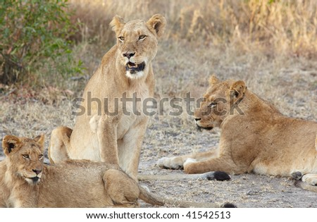 Young lion cubs resting in the early morning light after a night of hunting in the African bush - stock photo