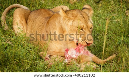 Young lion feeds on a freshly killed antelope in Uganda
