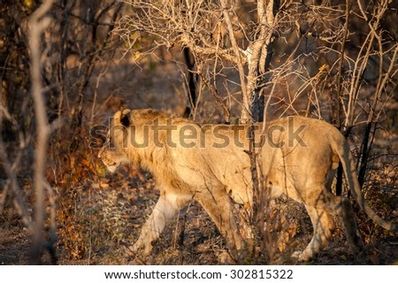 young lion in golden light hunting an unseen prey - stock photo