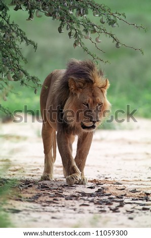 Young lion in Kruger national park of South Africa