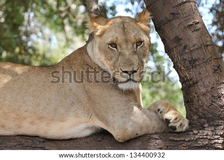 Young lion resting at base of a tree - stock photo