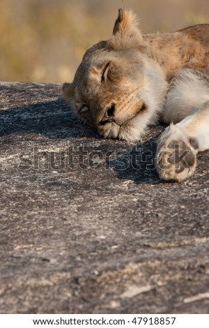 Young lion resting on rock in greater kruger park