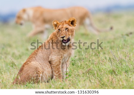 Young Lion with mother in the background, Marsh pride, Masai Mara, Kenya