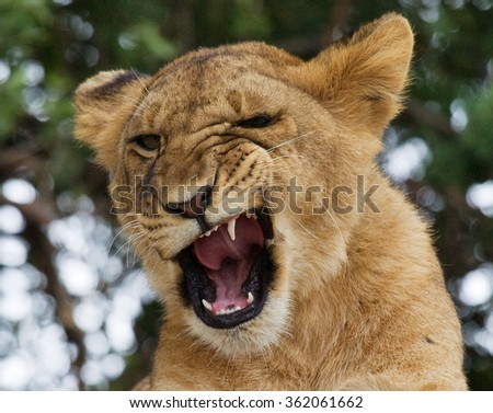Young lion yawns. Funny expression muzzles. Savannah. National Park. Kenya. Tanzania. Maasai Mara. Serengeti. An excellent illustration. - stock photo