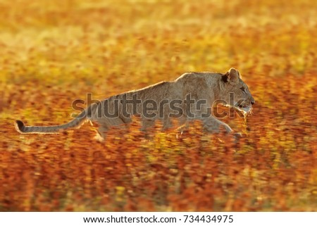 young lioness is running in African savanna
