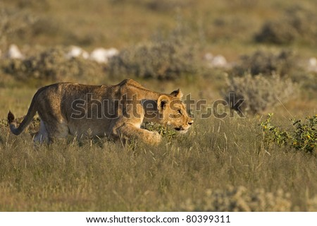 Young Lioness stalking her prey; Panthera leo