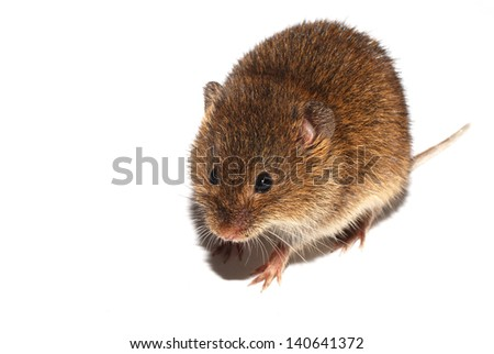 young little brown mouse walking on white background - stock photo