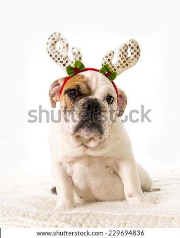 young little French Bulldog cub sitting on bed at home with Christmas reindeer horns hat  looking sweet at camera isolated on white background studio lighting as greeting card