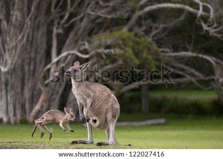 Young, Little Joey Jumping Around Its Mother - stock photo