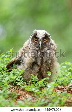 Young long eared owl - stock photo