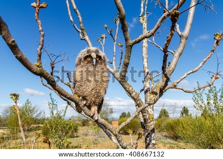 Young Long-eared owl in the branches of a tree. Asio otus. - stock photo