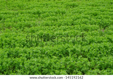 Young lush green lentil field.