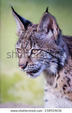 Young lynx cub closeup portrait - stock photo