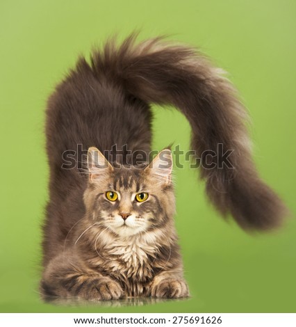 young Maine Coon cat on the green background - stock photo