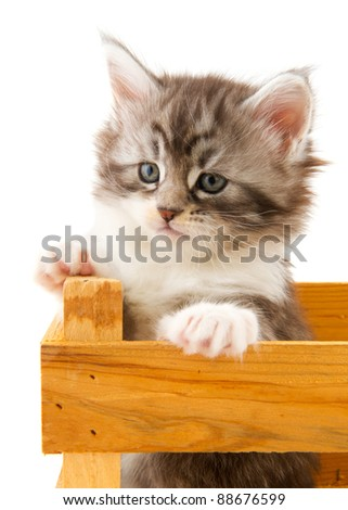 Young Maine Coon kitten in wooden crate