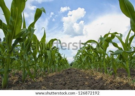 Young Maize plants growing in a row in a field - stock photo