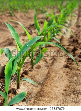 Young maize plants in a row - stock photo