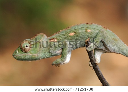 Young Malagasy Giant Chameleon (Furcifer oustaleti) in Ankarafantsika National Park, north-west Madagascar