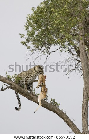 Young male adult leopard takes his kill out of the tree in the Masai Mara. - stock photo