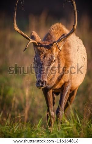 Young male buck in Cataloochee, Smokey Mountains, NC - stock photo