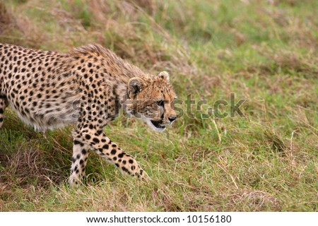 Young Male Cheetah Stalking its Litter Mate