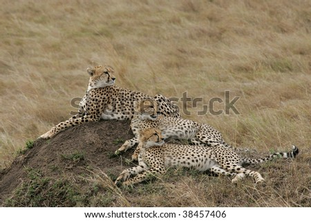 Young Male Cheetahs with mother on the top of a termite mound