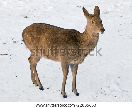 Young male-deer on snow.