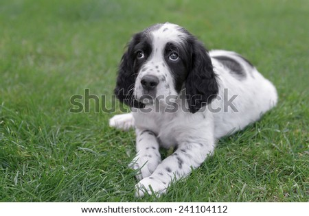 Young male English Setter puppy outdoors