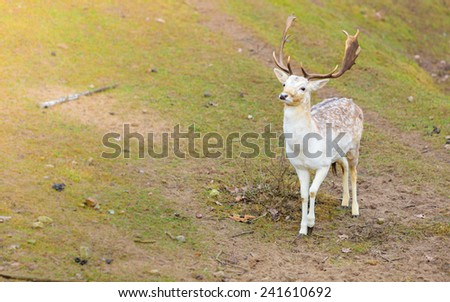 Young male fallow deer buck at park. Animals beauty in nature. - stock photo