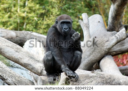 Young male gorilla - stock photo