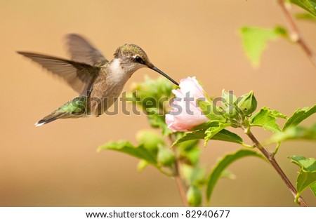 Young male Hummingbird feeding on a light pink Althea flower - stock photo