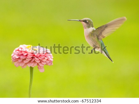 Young male Hummingbird hovering close to a flower, getting ready to feed against green summer background - stock photo