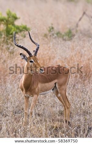 springbok antelope hears sounds between bushes fotka. Black Bedroom Furniture Sets. Home Design Ideas