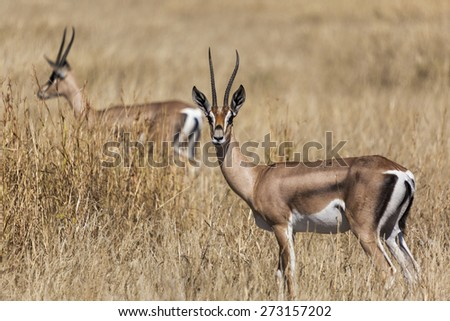 Young male impala antelope standing  - stock photo