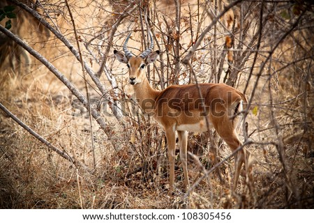 Young male impala in luangwa national park zambia - stock photo