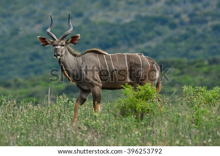 Young male kudu antelope - stock photo