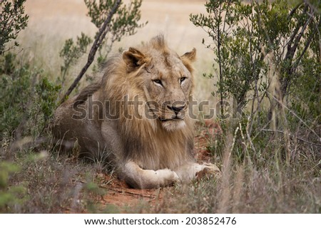 Young male lion, South Africa