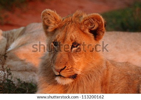 Young male lion staring at sunset. - stock photo