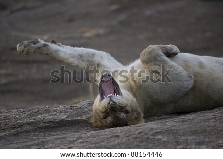 Young male Lion stretching in the Masai Mara - stock photo
