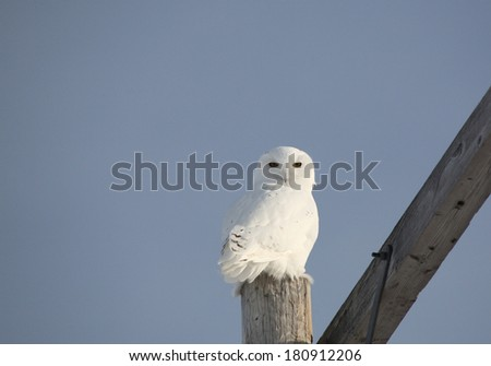 Young male Snowy Olw perched on power pole - stock photo