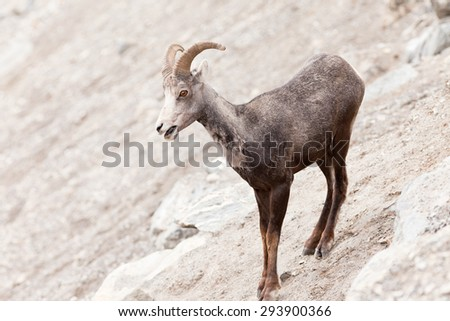 Young male Stone Sheep, Ovis dalli stonei, or thinhorn sheep ram standing on steep mountain side curiously watching, wildlife of northern Canadian Rocky Mountains, British Columbia, Canada
