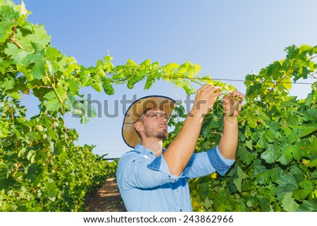 Young man, vine grower, inspecting the fresh grape crop in the vineyard. - stock photo