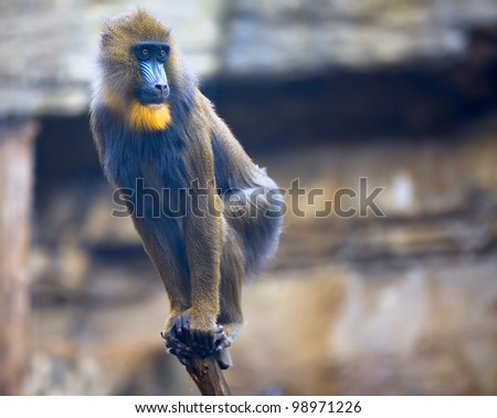 Young mandrill with a scared look on his face standing on a  bough - stock photo