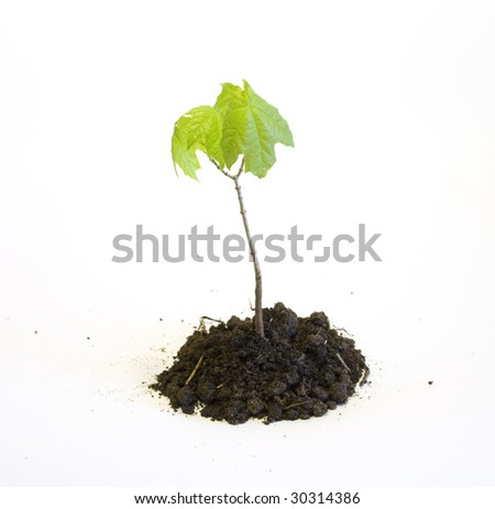 Young maple tree in the earth isolated on white