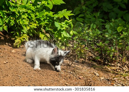 Young Marble Fox (Vulpes vulpes) Sniffs in Dirt - captive animal - stock photo