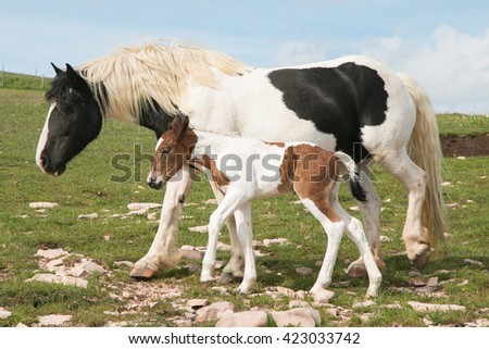 Young mare walking with baby foal - stock photo