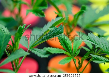 Young marijuana plants. Colored starters are used to differentiate varieties. very shallow depth of field. - stock photo
