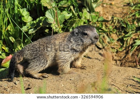 Young marmot before the earth
