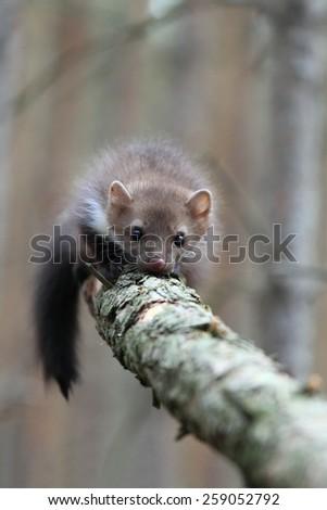 Young marten beech, lat. Martes foina  - stock photo